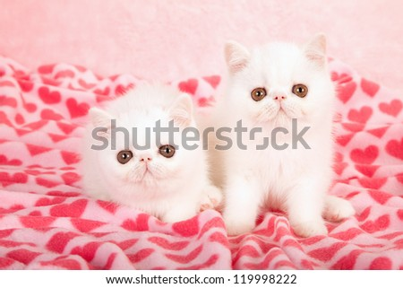 Exotic kittens lying on pink heart print fabric for Valentine theme - stock photo