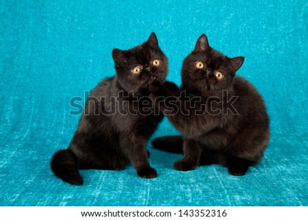 Exotic kittens on blue aqua background