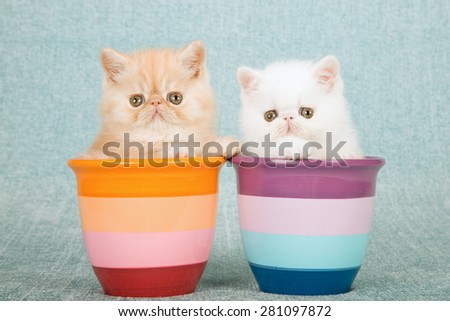 Exotic kittens sitting inside striped pots on mint green background