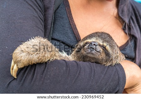 Exotic pet, a Pale-throated Sloth (Bradypus tridactylus) - stock photo