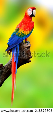 Exotic Scaret Macaw parrot bird perching on the log with nice blur green background - stock photo