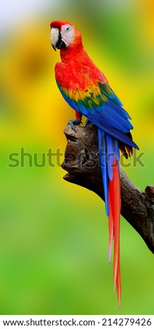 Exotic Scaret Macaw parrot bird perching on the log with nice green background - stock photo