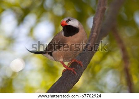Exotic Shafttail Finch perched in tree - stock photo