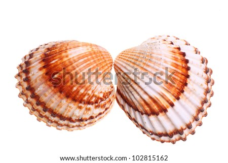 Exotic shell, isolated on a white background - stock photo