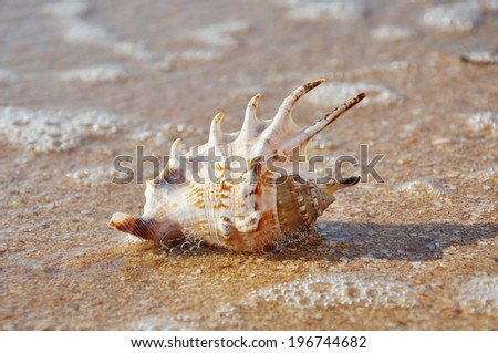 Exotic shell on the beach and calm surf