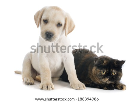 exotic shorthair cat and puppy labrador retriever in front of white background