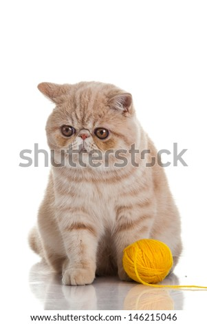 Exotic shorthair cat. Cat with balls of threads. - stock photo