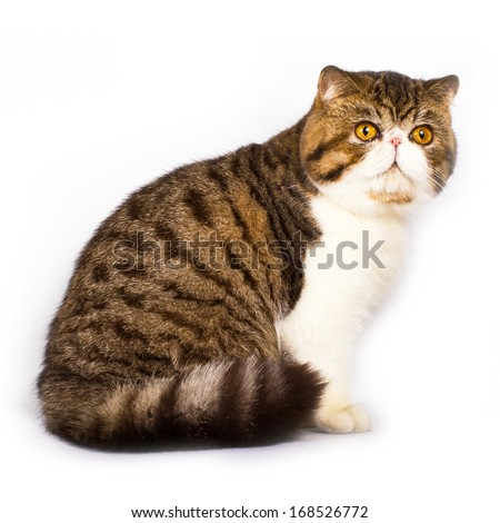 Exotic shorthair cat color brawn tabby with white on white background, slight shadow - stock photo