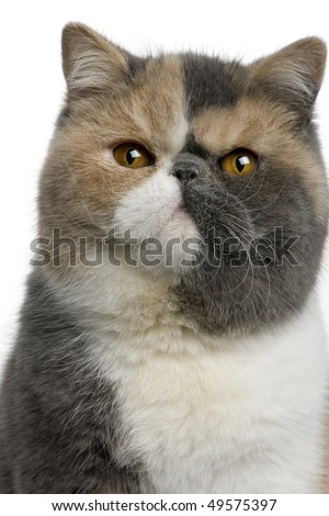Exotic shorthair cat, 8 months old, in front of white background - stock photo