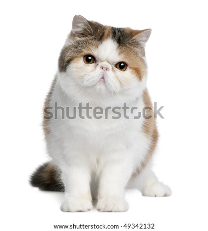 Exotic shorthair cat, 8 months old, sitting in front of white background - stock photo