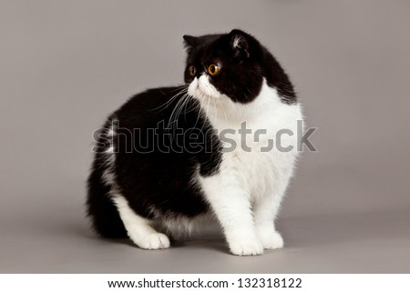 Exotic shorthair cat. persian cat on grey background - stock photo