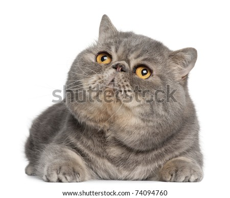 Exotic Shorthair cat, 3 years old, lying in front of white background - stock photo