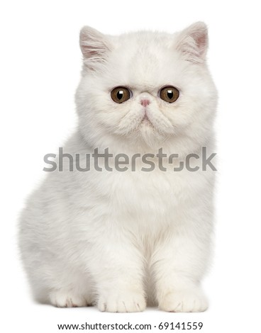 Exotic Shorthair kitten, 4 months old, sitting in front of white background - stock photo