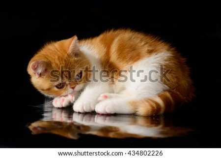 Exotic Shorthair red kitten on a black background.