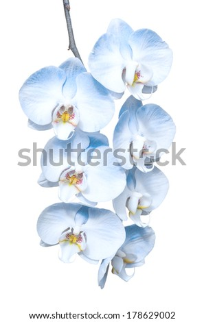 Exotic tropical branch of romantic blue orchids flowers isolated on white - stock photo