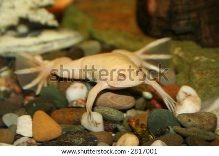 exotic white frog, albino (Xenopus Laevis) - stock photo