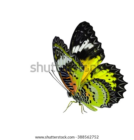 Exotic yellow butterfly, the Leopard Lacewing fully wing stretching and standing on its legs isolated on white background