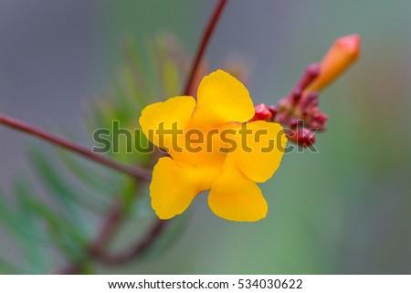 Exotic yellow flower five petals found stock photo 100 legal exotic yellow flower with five petals found in canaima national park venezuela mightylinksfo