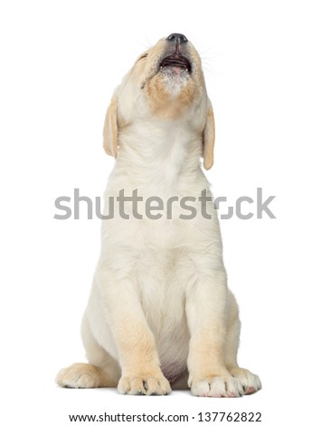 Expressive Labrador Puppy sitting, isolated on white