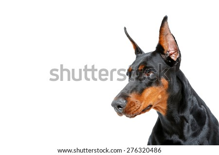 Expressive look. Close up of doberman pinscher on white isolated background looking aside.