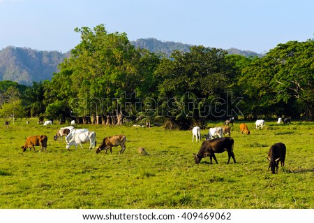 Extensive cattle farming in tropical climate. - stock photo