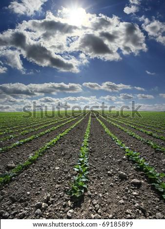 Extensive flat land green bean field - stock photo