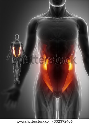external oblique muscle stock images, royalty-free images, Human Body