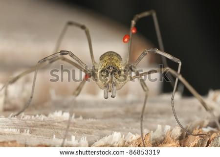 Extreme close-up of harvestman with parasites