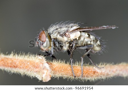 Extreme close-up of House fly