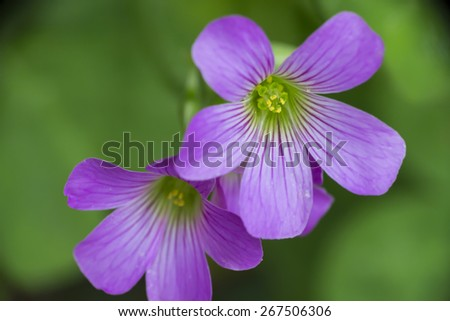 Extreme Close Up Pink Wood Sorrel Flowers with Blur Green Background - stock photo