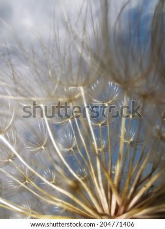 Extreme closeup of dandelion  - stock photo