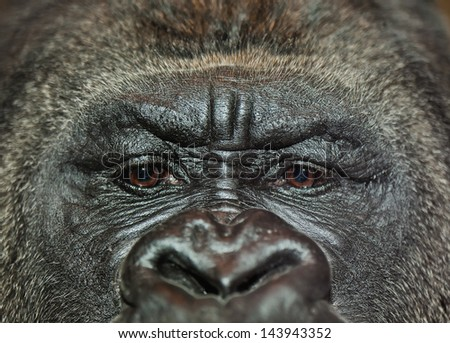 Extreme closeup of gorilla's face with sad facial expression. Shallow depth of field - stock photo