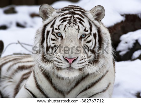 Extreme closeup portrait of a white bengal tiger, lying on snow. Wild beauty of the most dangerous beast of the world. Eye to eye contact with the biggest cat. - stock photo