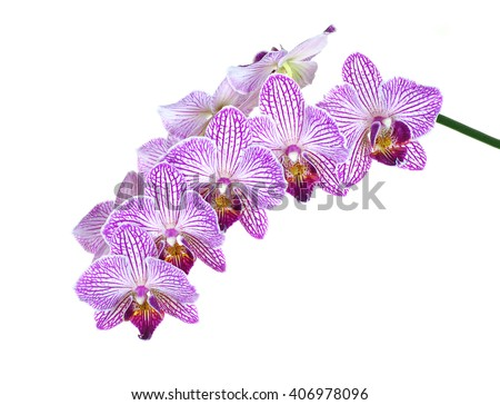 Extreme Depth of Field Photo of Purple and White Orchids Isolated on White - stock photo