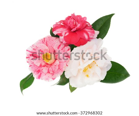 Extreme Depth of Field Photo of Three Camellias With Dew Isolated on White - stock photo