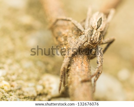 Extreme Macro Photo Of A Nursery Web Spider In Attacking Position - stock photo
