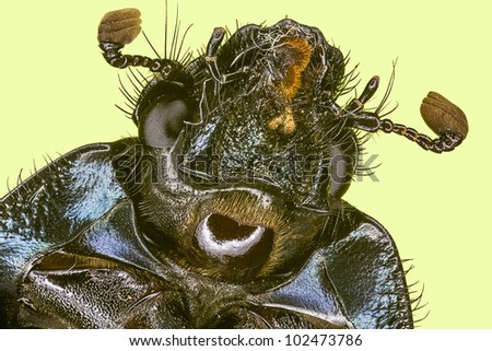 Extreme macro rain beetle   (Pleocoma puncticollis) - stock photo