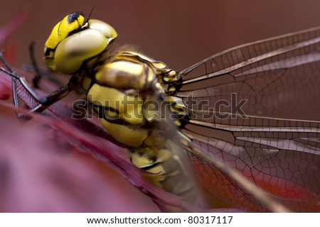 Extreme macro shot of a dragonfly with a very shallow depth of field.  Dragonfly.