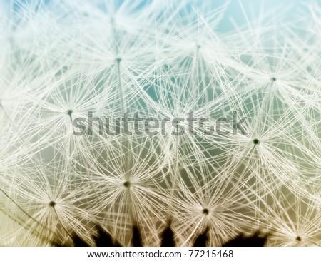 Extreme macro shot of fluffy dandelion seeds - stock photo