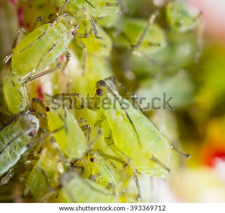 Extreme magnification - Green aphids on a plant - stock photo