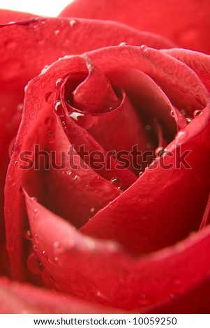 Extreme Rose macro with water drops