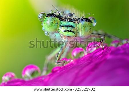 Extreme sharp and detailed closeup of polish green damselfly (Ischnura elegans)  - stock photo