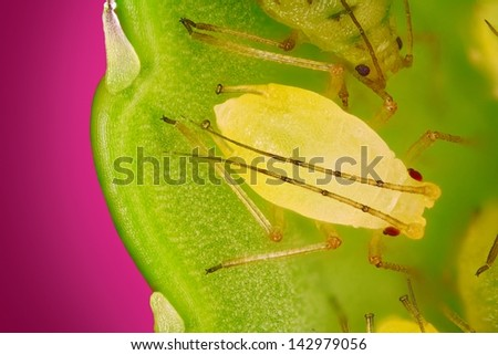 Extreme sharp and detailed view of Green aphids on leaf taken with microscope objective stacked from many photos into one very sharp image. - stock photo