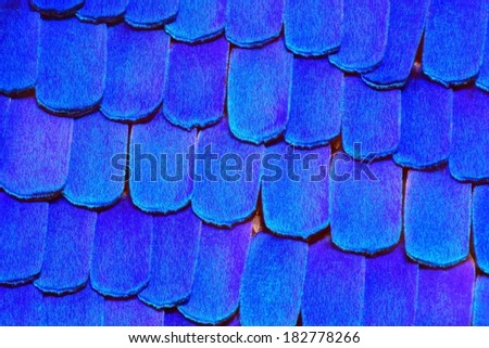 Extreme 20x detail of Morpho Rhetenor Cacica butterfly wing. - stock photo