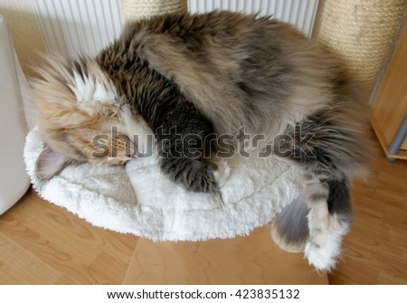 Extremely large blue tortie tabby with white Maine Coon female sleeping on her cat tree with her long bushy tail hanging down. - stock photo