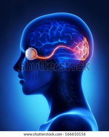 Eye and visual cortex nerves - stock photo