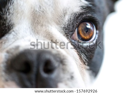 Eye contact with dangerous looking dog - stock photo
