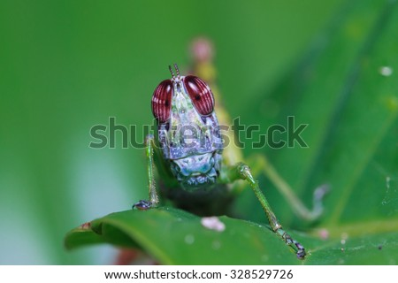 Eye Grasshoppers,Grasshoppers, insects, insect macro, nature, focus on the eye, blurred background. - stock photo