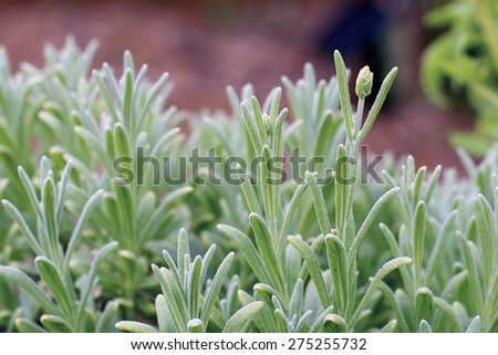 Eye level view of small flower buds forming on lush lavender plant. - stock photo
