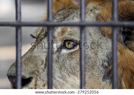 eye lion in cage.